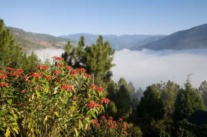 Punakha valley mist and Poinsettia flowers